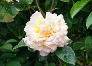 Edelrose Gloria-Dei • Rosa Gloria-Dei
