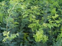 Erbsenstrauch • Caragana arborescens