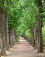 Urwelt-Mammutbaum • Metasequoia glyptostroboides