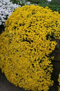 Garten-Steinkresse Goldkugel • Alyssum saxatile Goldkugel