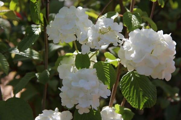 Japanischer Schneeball Popcorn • Viburnum Plicatum Popcorn