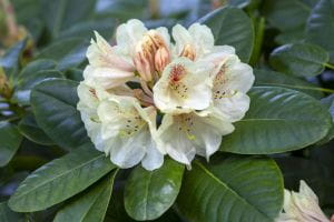 Rhododendron Goldbukett • Rhododendron Hybride Goldbukett