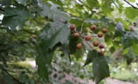 Elsbeere • Sorbus torminalis