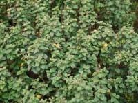 Japanspiere Bullata • Spiraea japonica Bullata