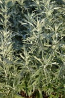 Silbriger Garten Beifuß - Artemisia ludoviciana Silver Queen