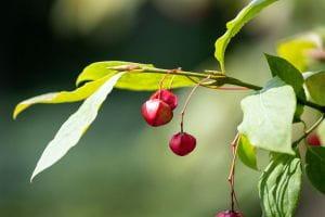 Spindelstrauch Red Cascade • Euonymus europaeus Red Cascade