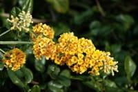 Schmetterlingsflieder Sungold • Buddleja weyeriana Sungold