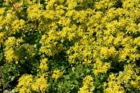 Immergrünes Garten-Fettblatt Immergrünchen • Sedum hybridum Immergrünchen