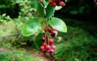 Echte Felsenbirne • Amelanchier rotundifolia