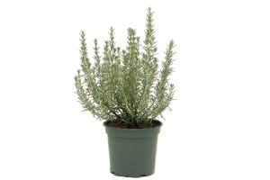 Garten-Rosmarin Arp • Rosmarinus officinalis Arp