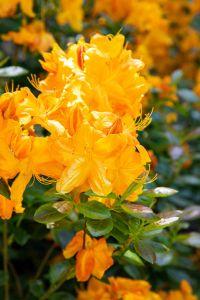 Rhododendron Klondyke • Rhododendron luteum Klondyke