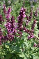 Garten-Blüten-Salbei Rosakönigin • Salvia nemorosa Rosakönigin