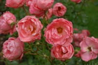 Rose Blühwunder • Rosa Blühwunder