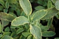 Buntblättriger Garten-Salbei Icterina - Salvia officinalis Icterina