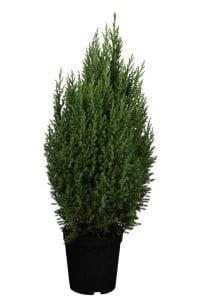 Blauer Kegel-Mooswacholder • Juniperus Chinensis Stricta