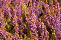Besenheide Boskoop • Calluna vulgaris Boskoop