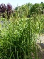 Carex pendula • Carex pendula