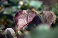 Blut-Trompetenbaum • Catalpa erubescens Purpurea