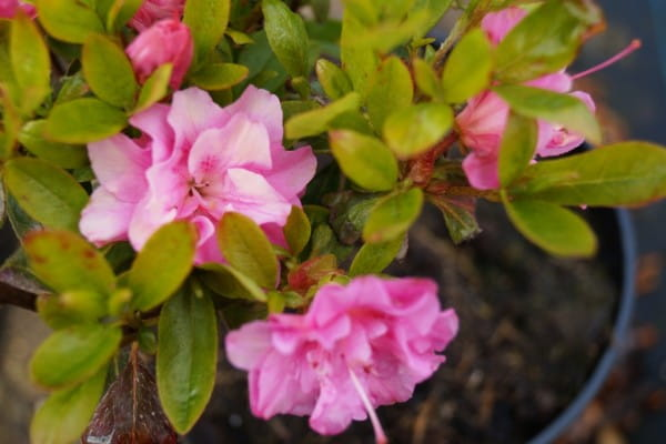 Japanische Azalee Rosinetta • Rhododendron obtusum Rosinetta