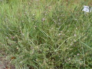 Dornige Hauhechel • Ononis spinosa