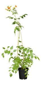 Chinesische Klettertrompete • Campsis grandiflora