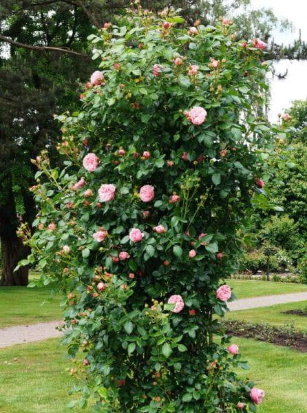 Nostalgiekletterrose Giardina • Rosa Giardina