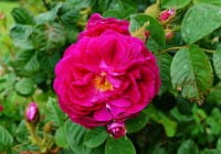 Rose Purple Rain® • Rosa Purple Rain