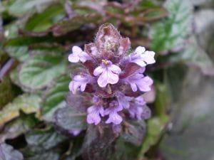Garten- Günsel • Ajuga reptans Atropurpurea