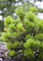 Berg-Kiefer, Latschenkiefer • Pinus mugo