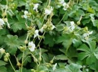 Storchschnabel White Ness • Geranium macrorrhizum White Ness
