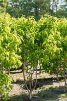 Sieben-Söhne-des-Himmels-Strauch • Heptacodium miconioides