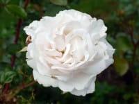 Parfuma Duftrose Constanze Mozart • Rosa Constanze Mozart