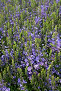 Niederliegender Garten-Ehrenpreis • Veronica prostrata
