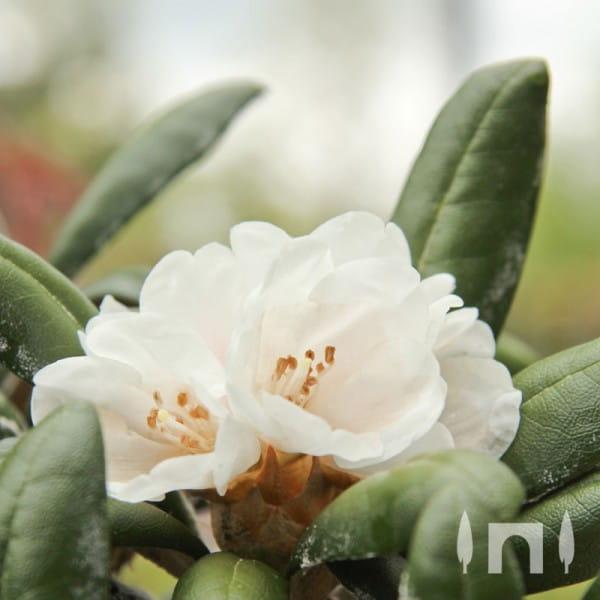 Rhododendron Schneekissen • Rhododendron yakushimanum Schneekissen