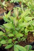 Hohe Garten-Flammenblume • Phlox paniculata Red Riding Hood