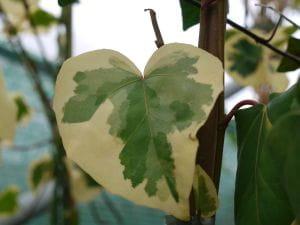 Buntlaubiger Kaukasischer Efeu • Hedera colchica Dentata Variegata