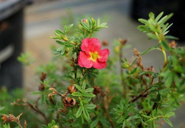 Fingerstrauch Belissima Hachliss • Potentilla Belissima Hachliss
