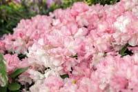 Rhododendron Marlis • Rhododendron yakushimanum Marlis