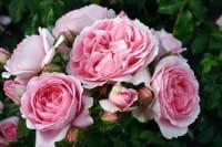 Rose Rosenfee ® • Rosa Rosenfee ®