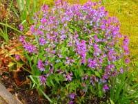 Frühlings-Platterbse • Lathyrus vernus