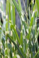 Harter Garten-Zebraschilf • Miscanthus sinensis Strictus