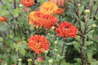 Winteraster Brockenfuer - Chrysanthemum Hortorum Brockenfeuer