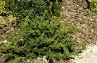 Tafel-Eibe • Taxus baccata Repandens