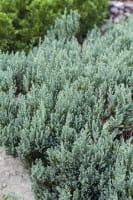 Teppichwacholder Grey Pearl • Juniperus horizontalis Grey Pearl