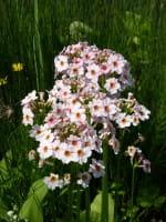 Etagen Schlüsselblume 'Appleblossom' - Primula japonica 'Appleblossom'