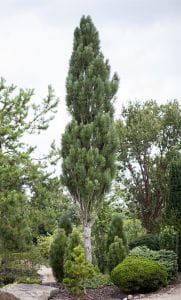 Säulenschwarzkiefer • Pinus nigra Obelisk