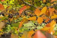 Wald-Tupelobaum • Nyssa sylvatica