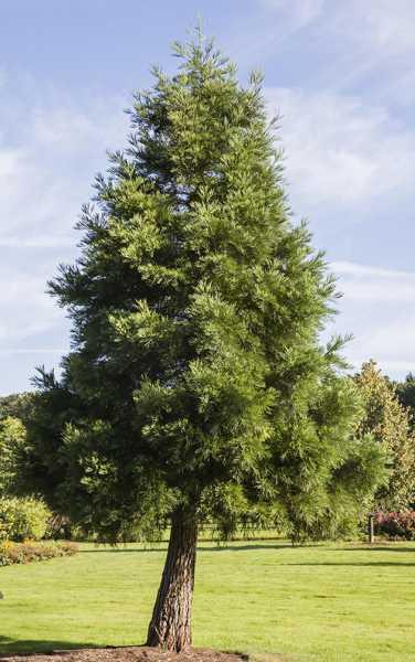 Kalifornischer Berg- Mammutbaum • Sequoiadendron giganteum