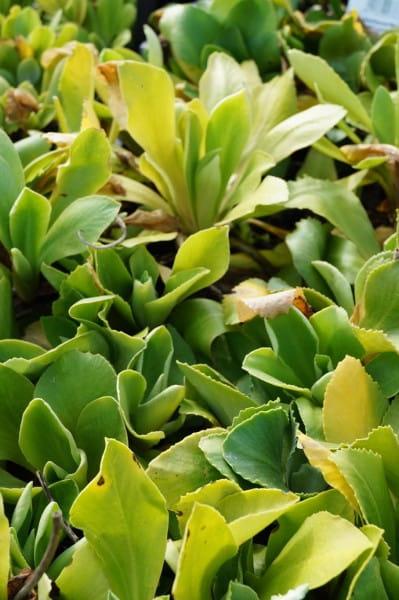 Aurikel - Primel x Pubescens