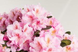 Rhododendron Scintillation • Rhododendron Hybride Scintillation
